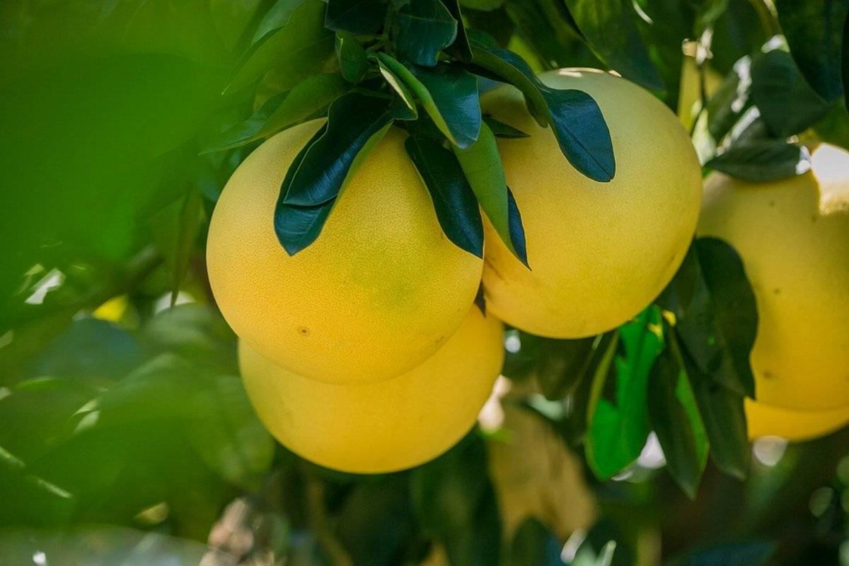 Цитрусовый фрукт помело: польза, вред, состав, рецепты