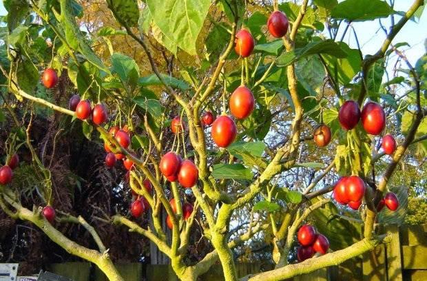 Выращивание помидорного дерева в открытом грунте и уход за ним