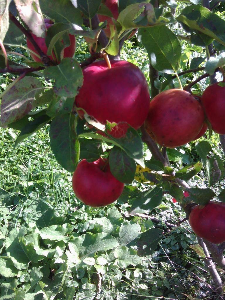 """Яблоня сябрына - описание сорта, фото, отзывы - журнал """"совхозик"""""""