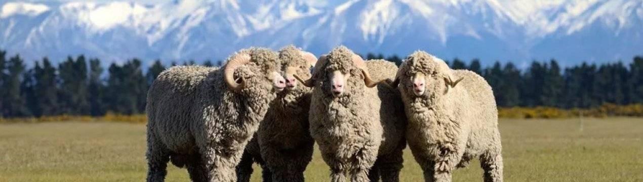 Обзор породы овец советский меринос: их фото и видео обзор породы овец советский меринос: их фото и видео