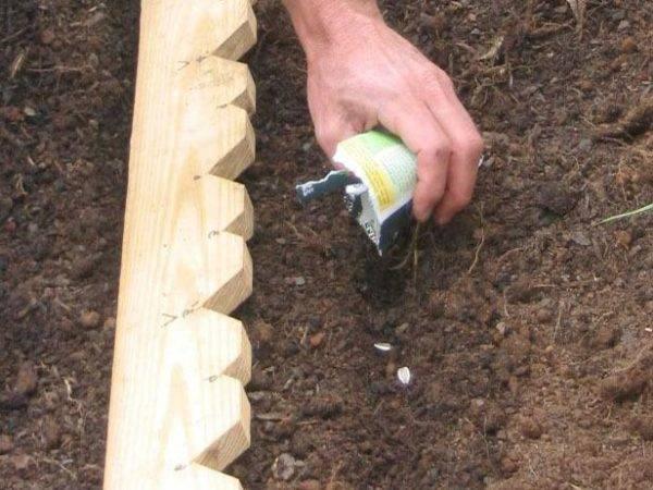 Как посадить и вырастить декоративный подсолнух на даче: уход