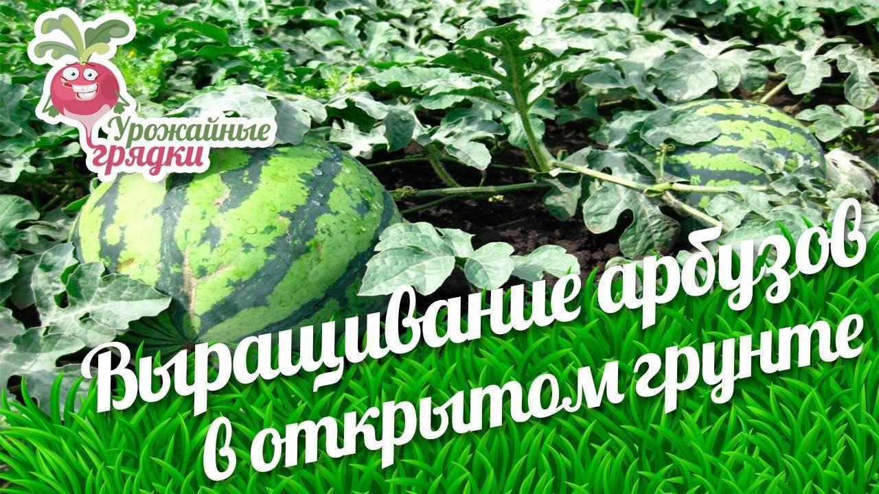 Рассада арбуза: когда и как правильно сажать семена, ухаживать
