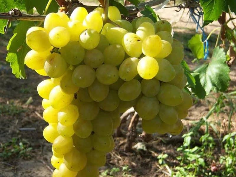 Виноград лора: описание сорта, фото, видео, отзывы