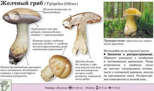 Белый гриб: как выглядит, где растет, фото и разновидности