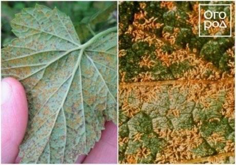 Почему желтеют листья у смородины: причины, правильный уход, борьба с болезнями