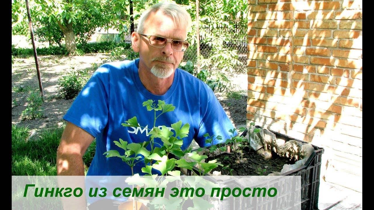 Выращивание гинкго билобу из семян в домашних условиях