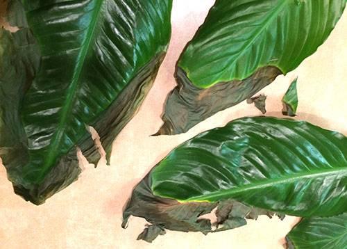 """Почему темнеют листья у спатифиллума: изменение окраса кончиков, всей пластины и цветков, а также способы спасения """"женского счастья"""" от этого недуга selo.guru — интернет портал о сельском хозяйстве"""