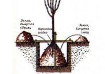 Как посадить яблоню летом: посадка в июле, августе, все советы опытных садоводов