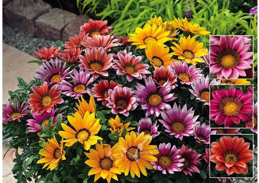 Цветок гацания — как цветет на клубме, какой нужен грунт для выращивания