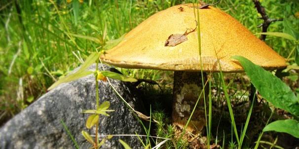 Как человек использует хищные грибы кратко. хищные грибы