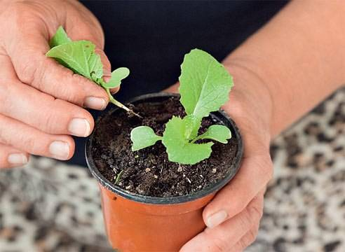 Как правильно пикировать рассаду капусты