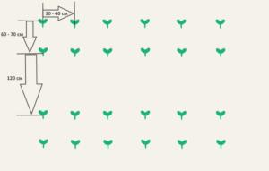 На каком расстоянии сажать кабачки: схемы, инструкция, видео