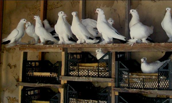«родотиум» для голубей: инструкция по применению, совместимость