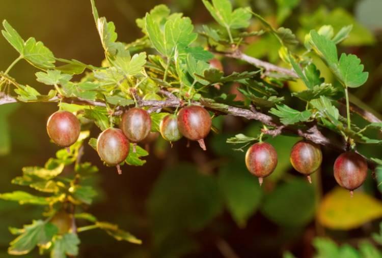 Как размножить крыжовник осенью: отводками, спорами или семенами, черенками