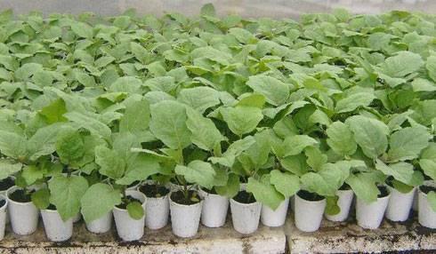Баклажаны: выращивание и уход в открытом грунте, видео