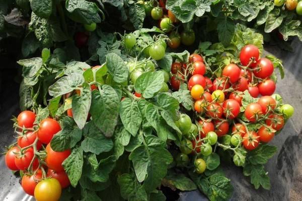 Сорт помидор видимо невидимо отзывы и фото - ogorod.guru