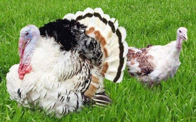 Породы индюков: фото и описание, преимущества пород индюков
