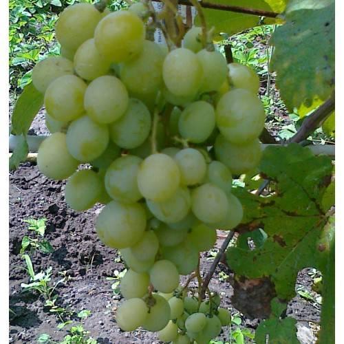 Виноград восторг: описание сорта с характеристикой и отзывами, особенности посадки и выращивания, фото