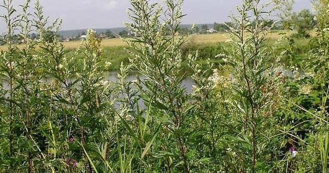 Полынь обыкновенная (чернобыльник). свойства, применение | лечение травами - народные рецепты