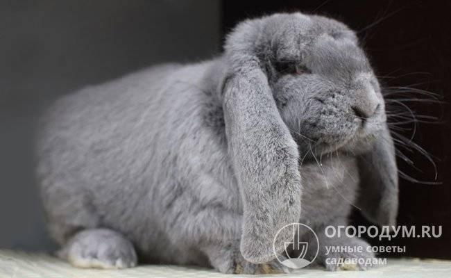 Кролики породы французский баран: обзор и отзывы кролики породы французский баран: обзор и отзывы