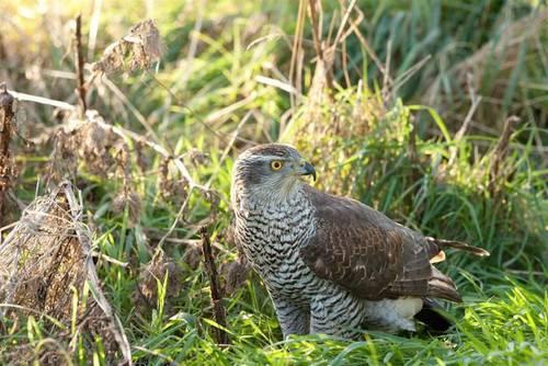 Птица ястреб - как выглядит, где обитает, чем питается и как размножается (95 фото + видео)