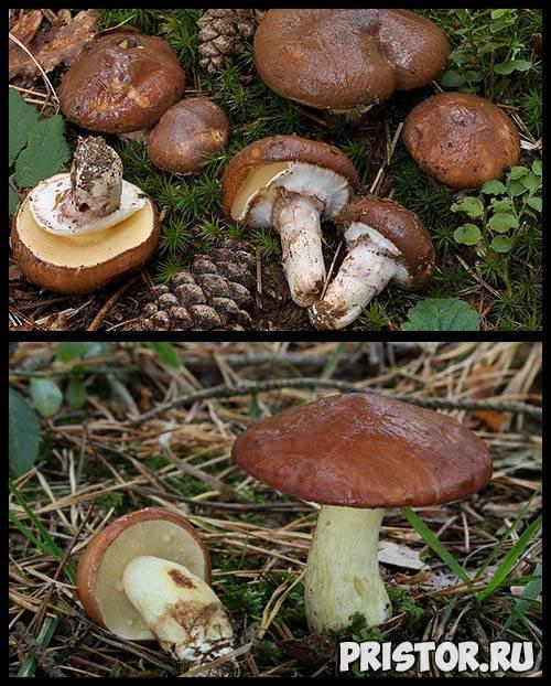 Как выглядят ложные рыжики: фото, как отличить от настоящих грибов и можно ли их есть