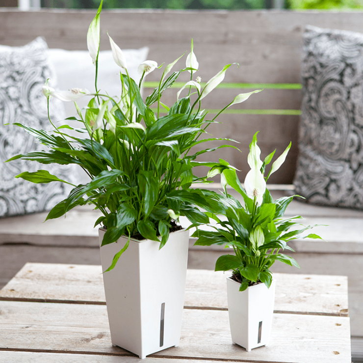 Как посадить цветок «женское счастье» в домашних условиях: как вырастить спатифиллум из деток и семян, как получить новое растение делением корней куста, а также как правильно переселить зеленого питомца в другой горшок?