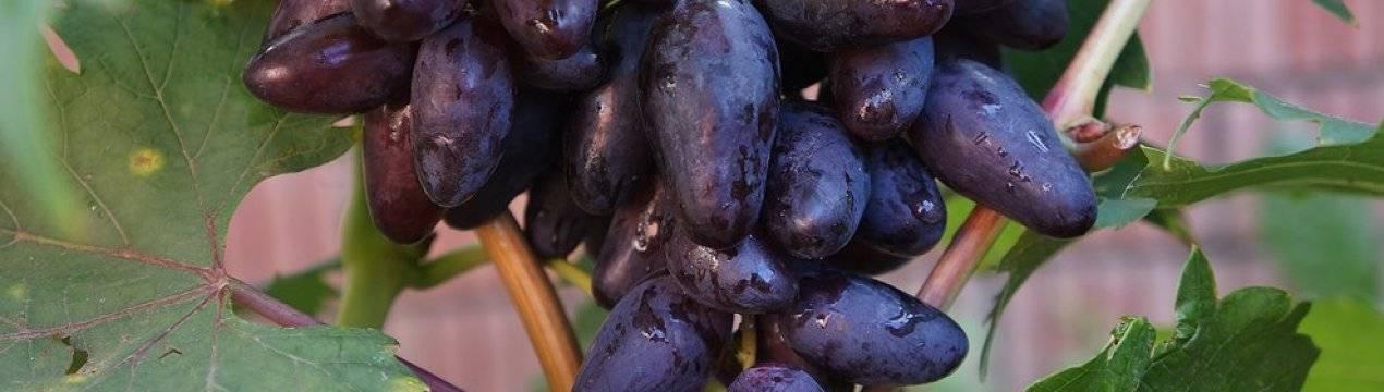 Сорт винограда амурский, описание с характеристикой и отзывами, особенности посадки и выращивания, фото