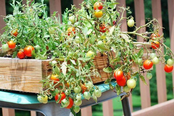 Выращивание черри на подоконнике: советы и рекомендации