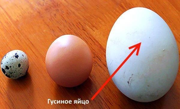 Правильная инкубация гусиных яиц