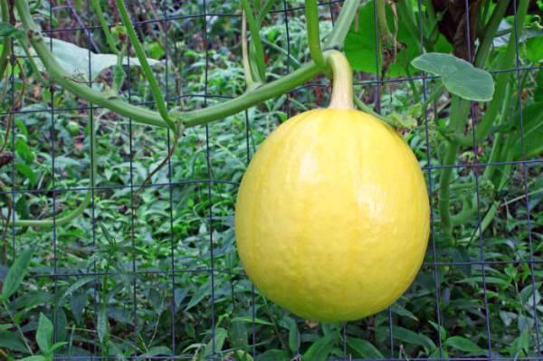 Тыква это что овощ фрукт ягода