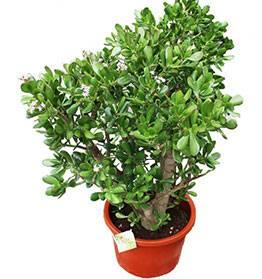 Как вырастить домашнее денежное дерево: мероприятия перед посадкой, инструкция по выращиванию, рекомендации по уходу