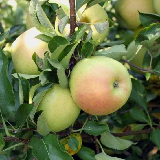 Яблоня «чудное»: описание сорта, фото, отзывы - блог фермера