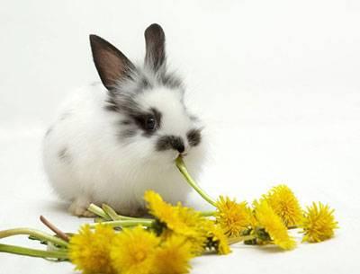 Можно ли кроликам есть одуванчики: с чем сочетать и как давать?