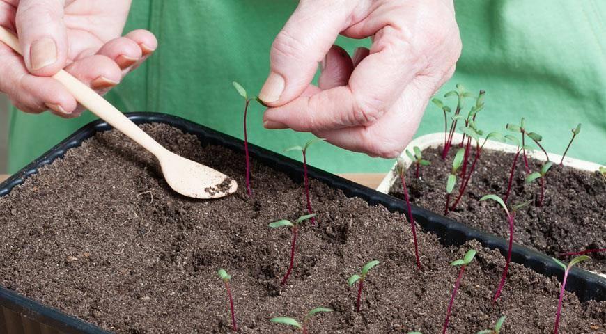 Выращивание свеклы рассадой, фото, пошаговая инструкция на supersadovnik.ru