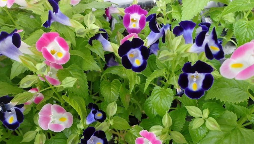 Торения: выращивание из семян и уход в домашних условиях + фото
