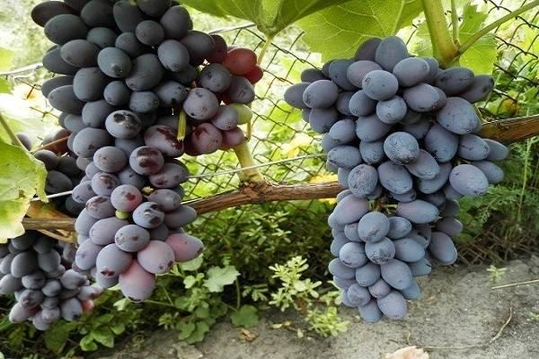 Виноград юпитер: рассмотрим подробно