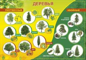 Хвойные растения для сада: фото и названия | home-ideas.ru