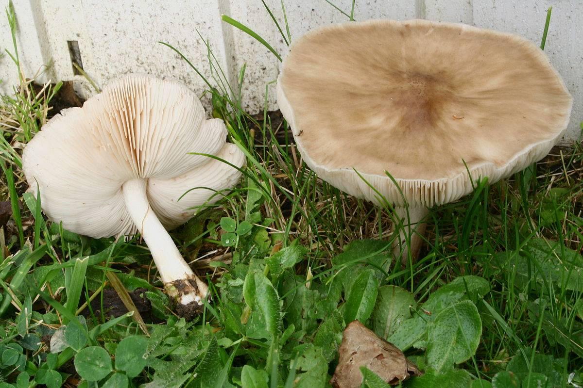 Плютей умбровый – горький, но съедобный гриб