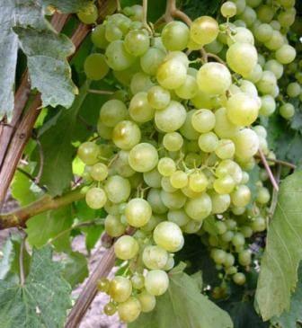 Сорт винограда «краса никополя»
