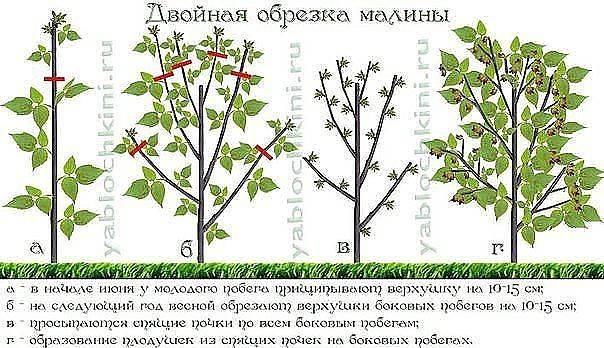 Правила обрезки малины весной, летом и осенью