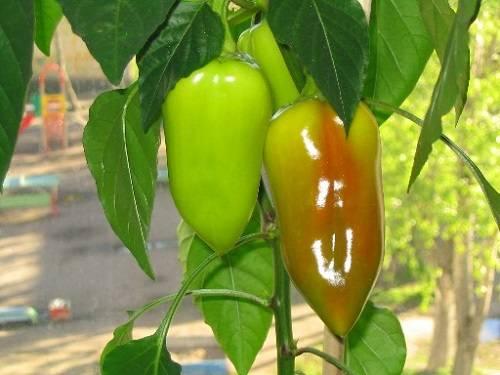 Как вырастить горький перец (огонек, чили) на подоконнике: посев семян и уход в домашних условиях