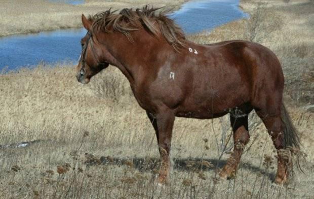Советский тяжеловоз — история возникновения породы лошадей, внешний вид, развитие в наши дни