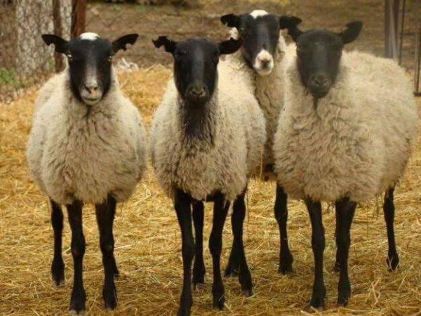 Породы овец: описание, характеристики, фото