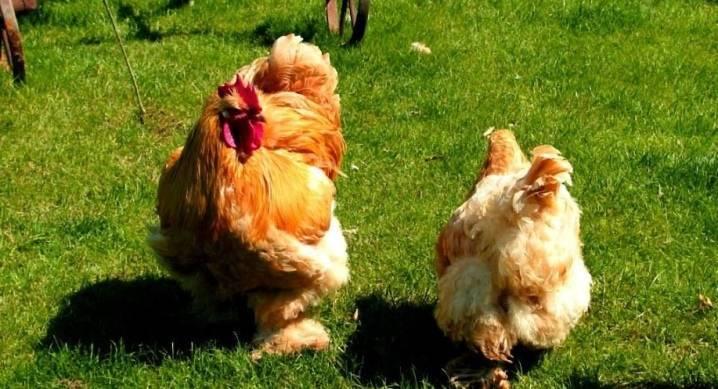 Лучшие мясо-яичные породы кур.