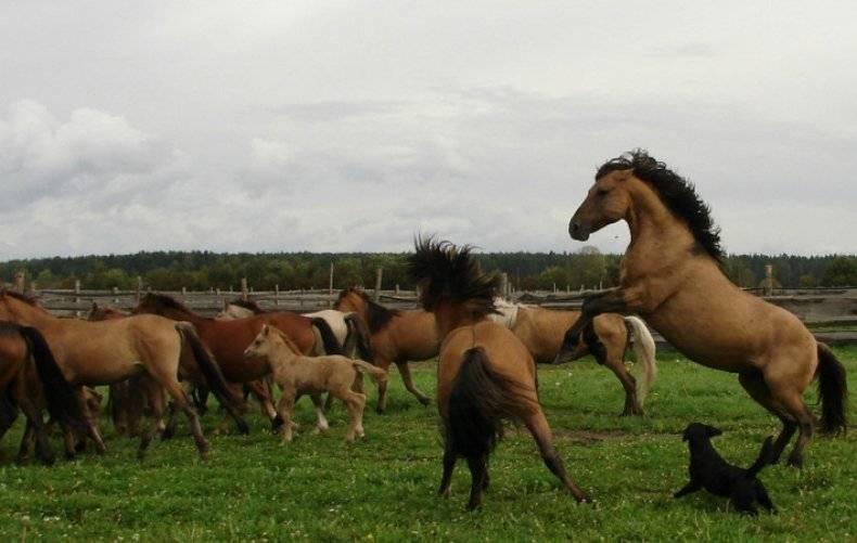 Обзор башкирской породы лошадей, ее описание и фото обзор башкирской породы лошадей, ее описание и фото