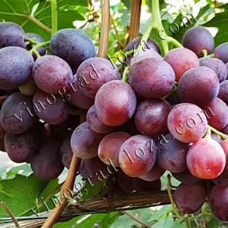 Виноград «эверест»: описание сорта, правила ухода, фото и отзывы