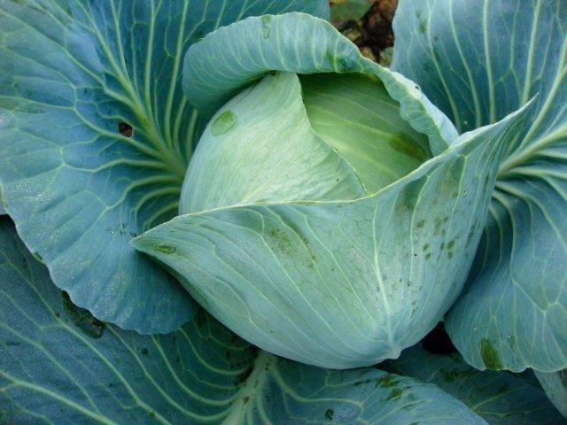 Капуста престиж f1: отзывы, фото, описание сорта, урожайность, выращивание, посадка и уход
