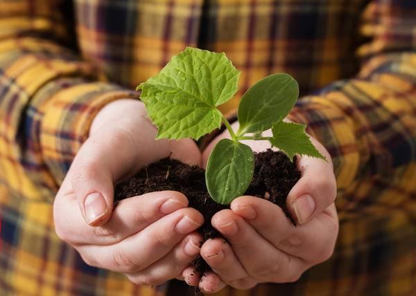 Как подготовить семена огурцов к посадке на рассаду и в грунт
