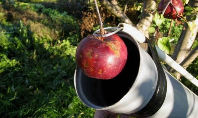 Когда собирать яблоки на хранение на зиму? | садоёж